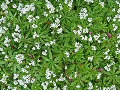 Growing Sweet Woodruff Tips To Grow Herb