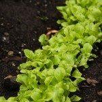 lettuce-bed