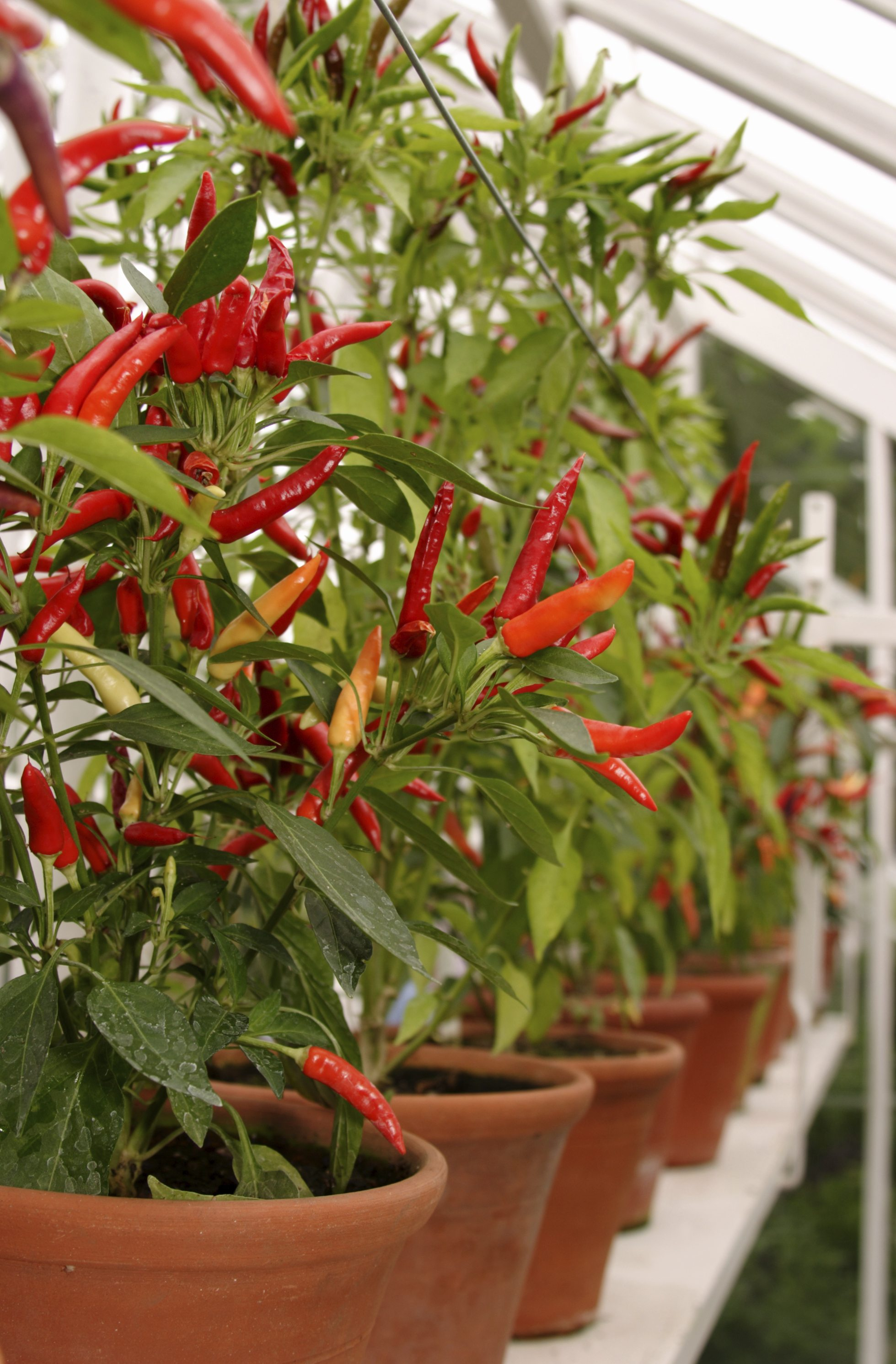 Growing Peppers In Containers How To Grow Peppers In Pots