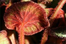 rex begonia leaves