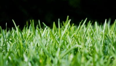 Information About St Augustine Grass