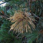 diplodia-pine-blight