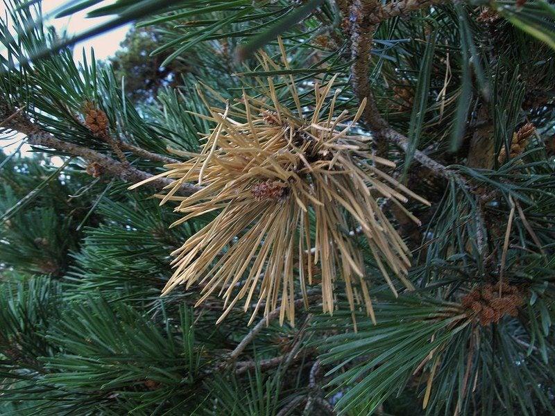 diplodia-pine-blight Red Varieties Houseplants on ficus elastica varieties, cactus varieties, syngonium varieties, potatoes varieties, herb varieties, sunflower varieties, holly varieties, plants varieties, hydrangea varieties, succulents varieties,