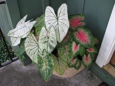 fancy-leaf-caladiums