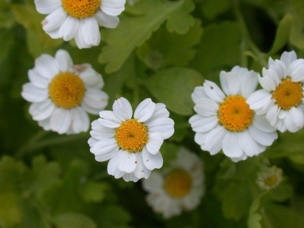 feverfew plant - photo #8