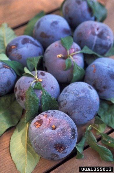 plum problems