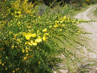 Controlling Scotch Broom How To Get Rid Of Scotch Broom