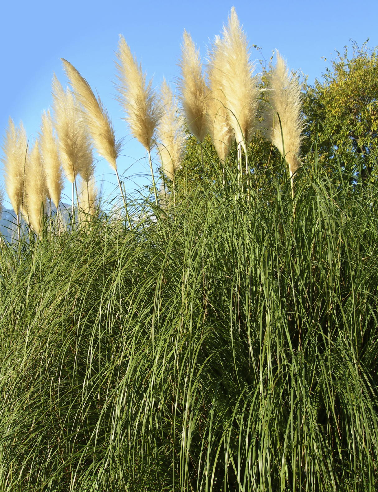 Growing Pampas Grass How To Care For Pampas Grass