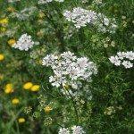 cilantro-flower