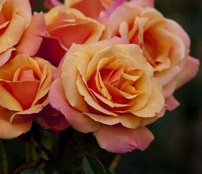 long-stem-roses