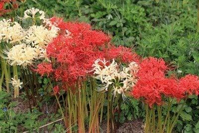lycoris-lilies
