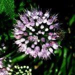 onion-flower
