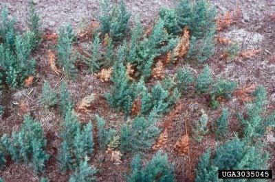 Information About Juniper Twig Blight