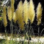 plumed-grass