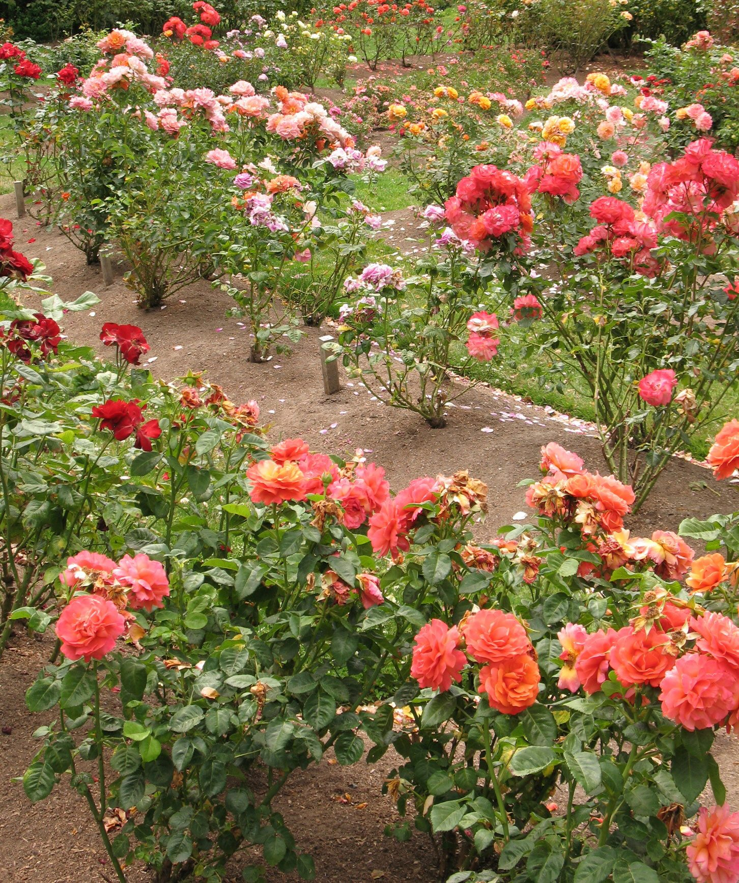 Spacing Roses How Far Apart To Plant Rose Bushes