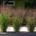 switchgrass-plants