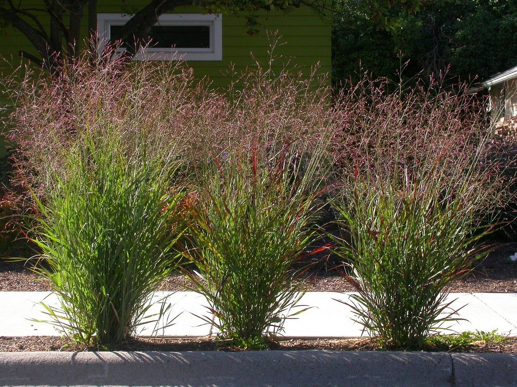 Ornamental switchgrass tips for planting switchgrass in for Ornamental prairie grass
