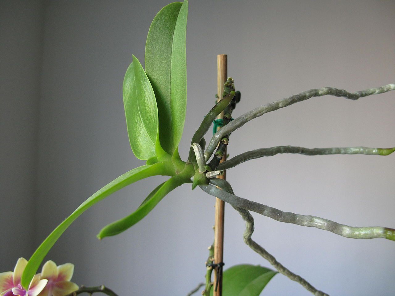 Orchid keikis orchid propagation from keikis How do you care for orchids after they bloom