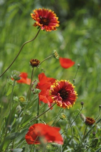 Growing blanket flowers tip for the care of blanket flowers blanket flowers care how to grow blanket flower mightylinksfo