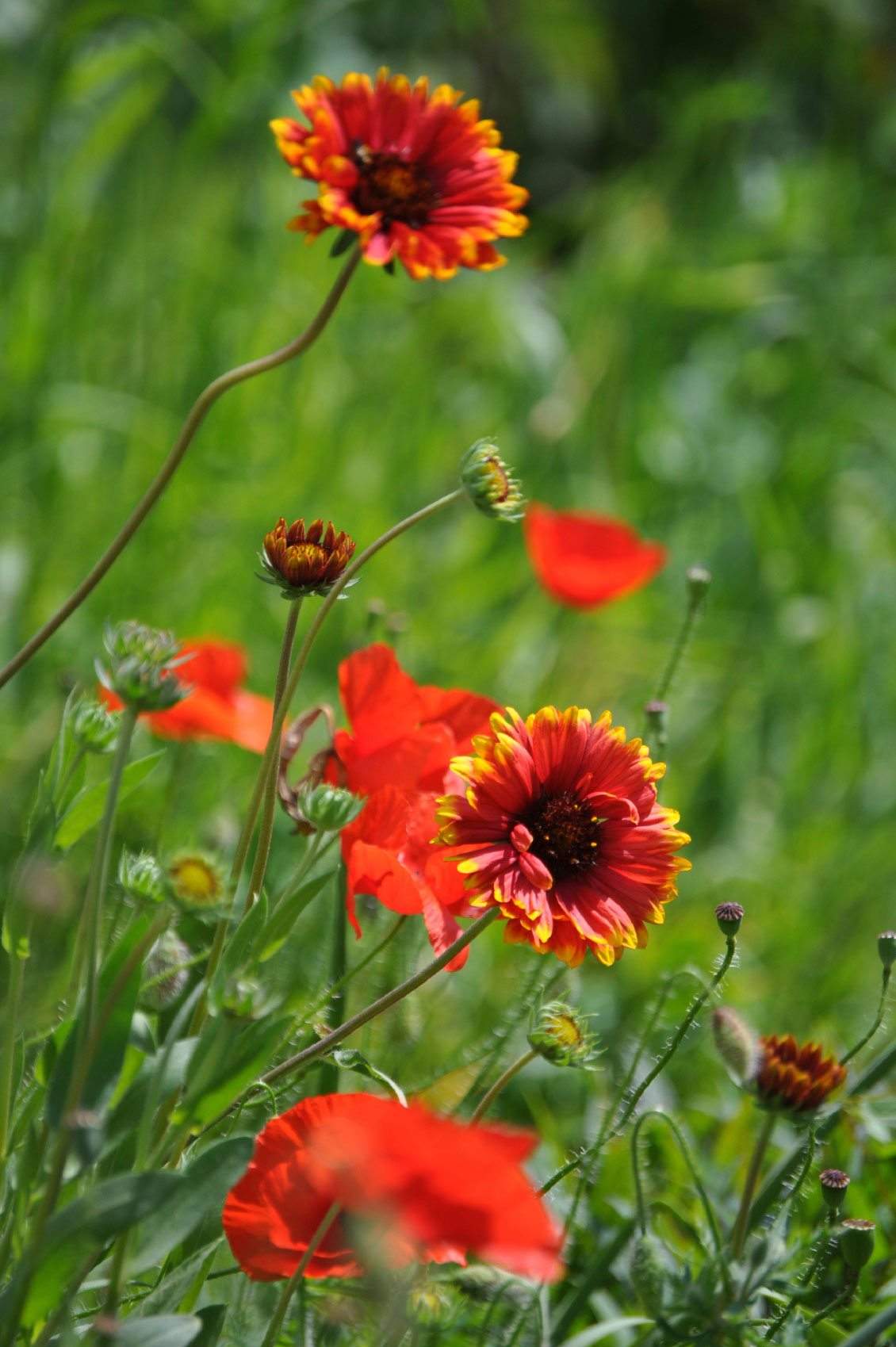 Growing Blanket Flowers Tip For The Care Of Blanket Flowers
