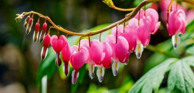 Bleeding Heart Flower Care How To Grow Hearts