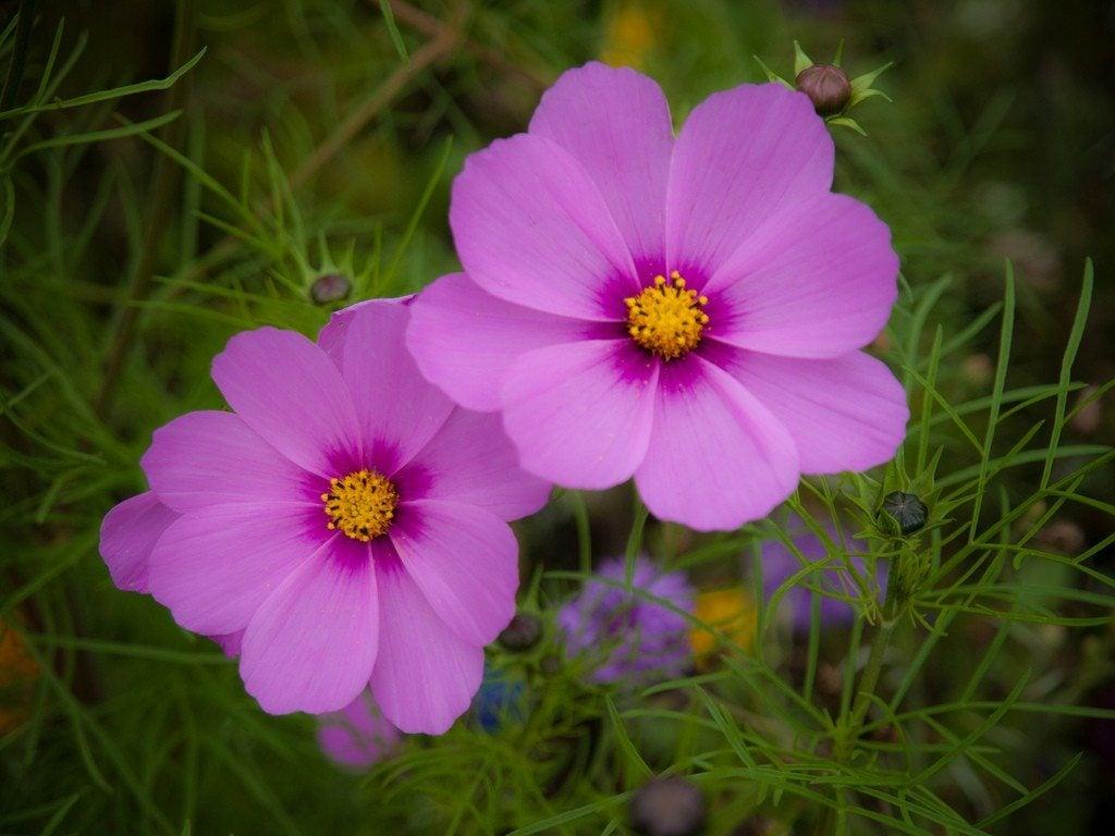 Cosmos plants how to grow cosmos flowers izmirmasajfo