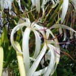 crinum-lilies