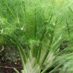 florence-fennel