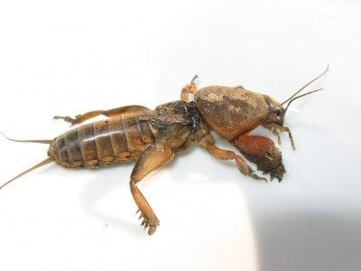 mole cricket1 400x300 - How To Get Rid Of Mole Crickets In Vegetable Garden