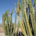 organi-pipe-cactus
