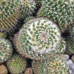 pincushion-cactus