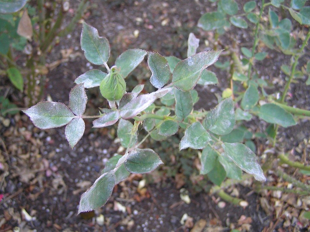 Problems With Roses Common Diseases For Rose Bushes