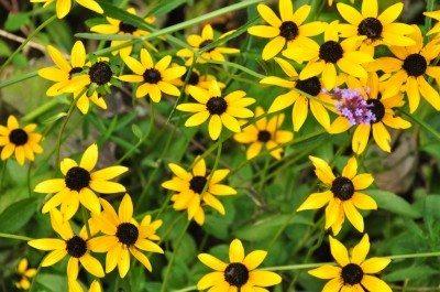 Black Eyed Susan Flower Tips For Growing Black Eyed Susans
