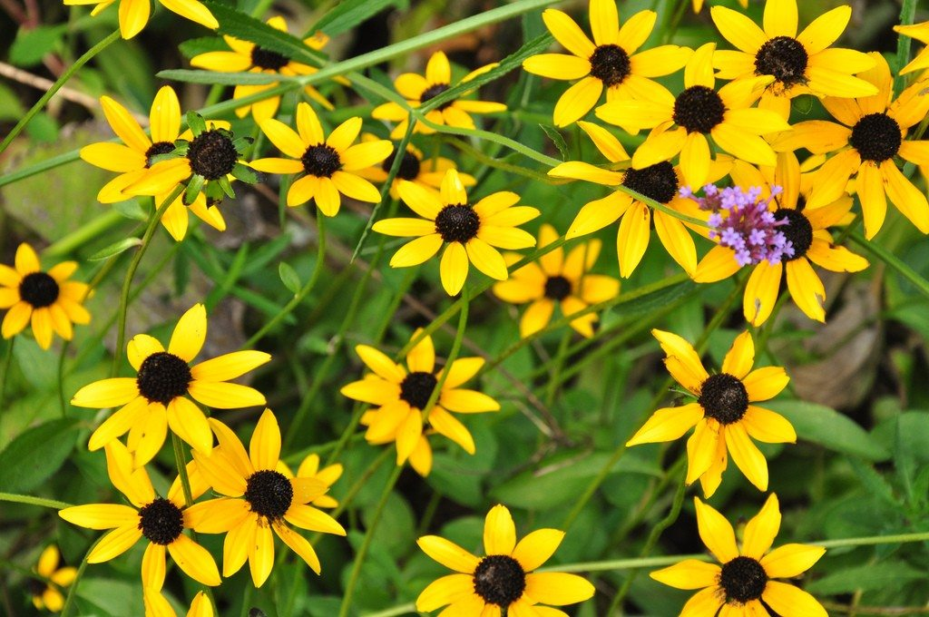 Black Eyed Susan Flower Tips For Growing Black Eyed Susans