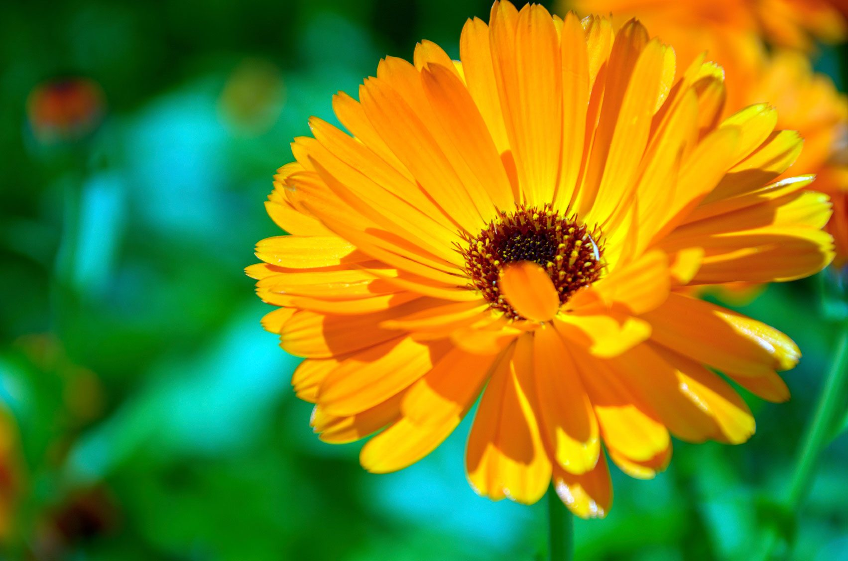 cyprus flowers-Calendulas