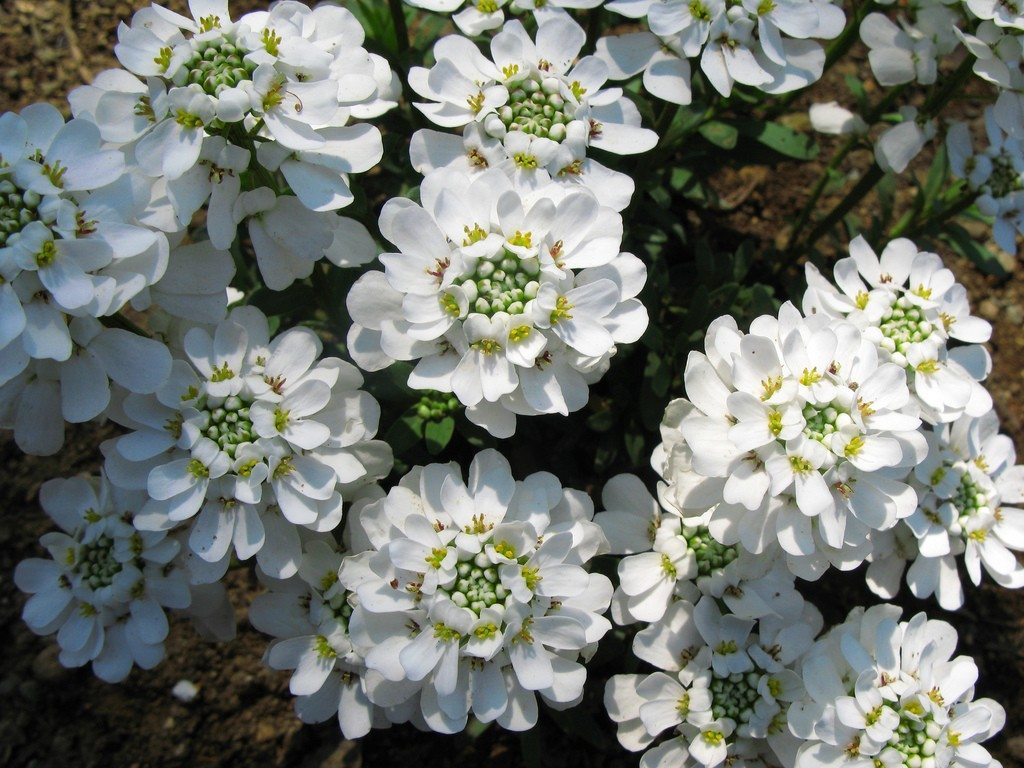 Candytuft Plant How To Grow Candytuft