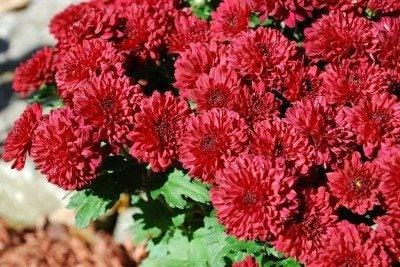 mum-flowers