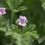scented-geranium