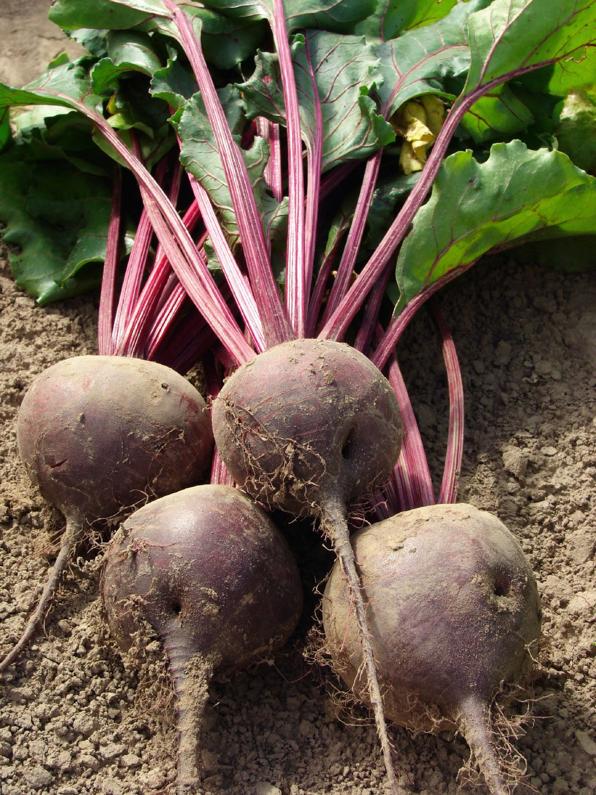 Harvesting Beets How And When To Harvest