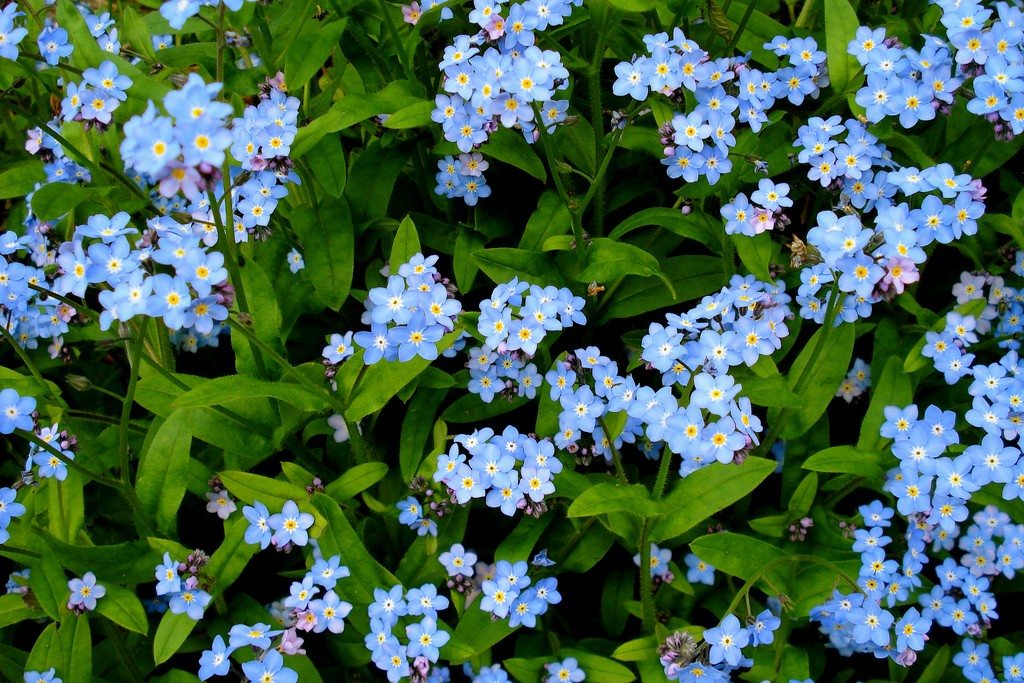 Grow Your Own Forget Me Not Planter