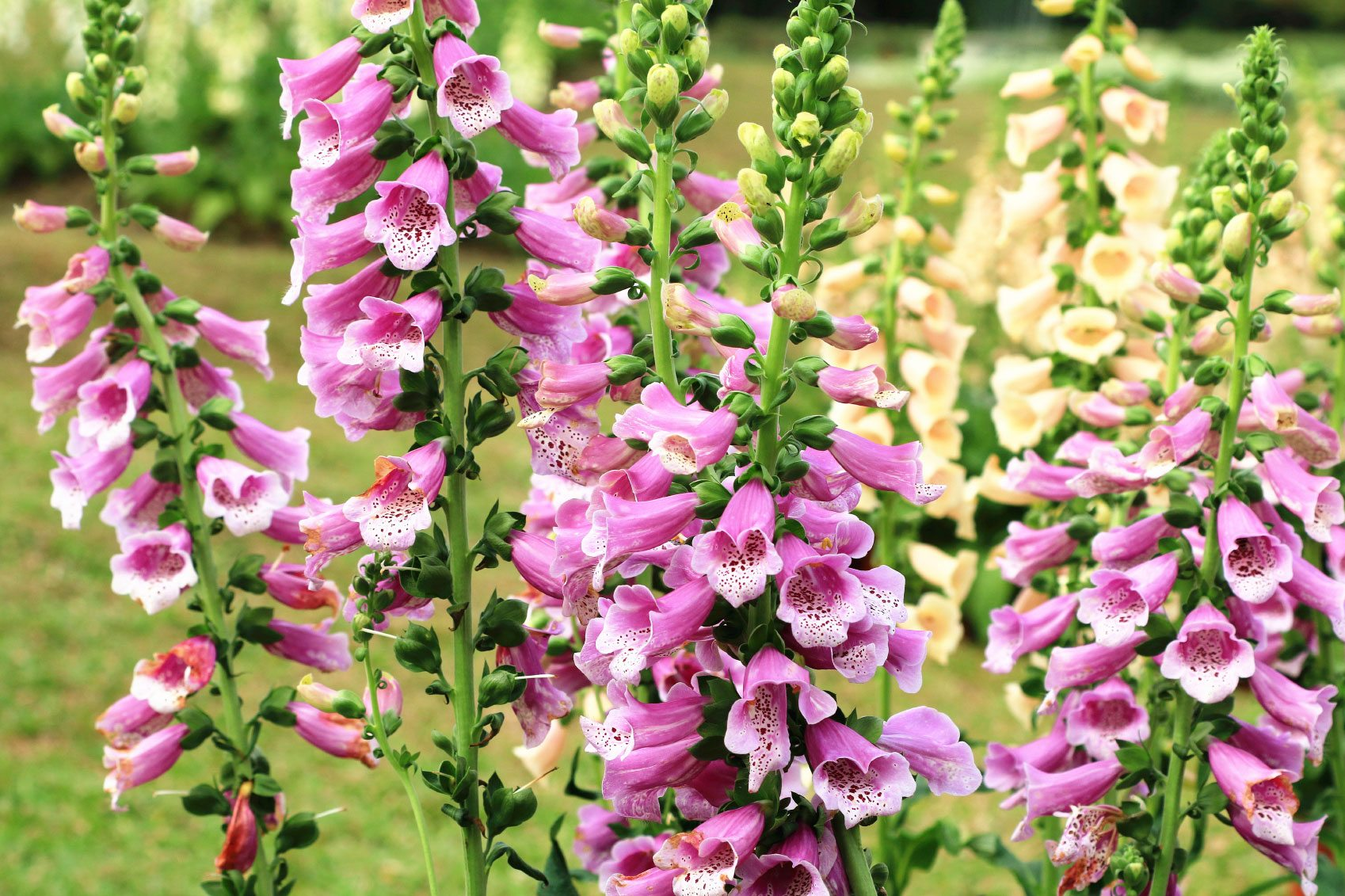 Foxglove Flowers How To Grow Foxgloves
