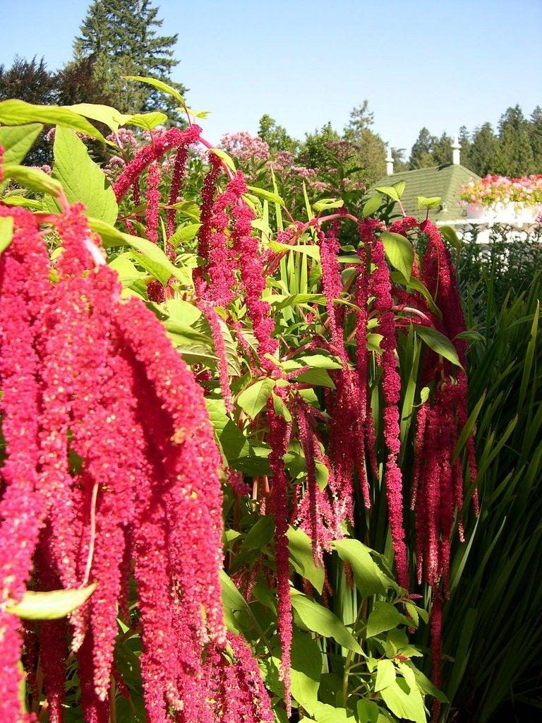 Tips On Growing Love Lies Bleeding Flower