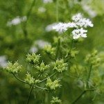 flowers and coriander seeds are outdoors