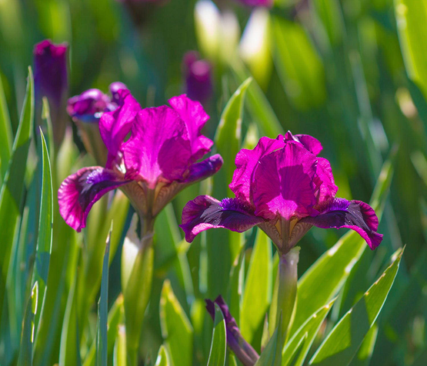 Iris Plants Tips For Growing Iris