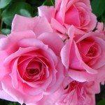 rose-cluster