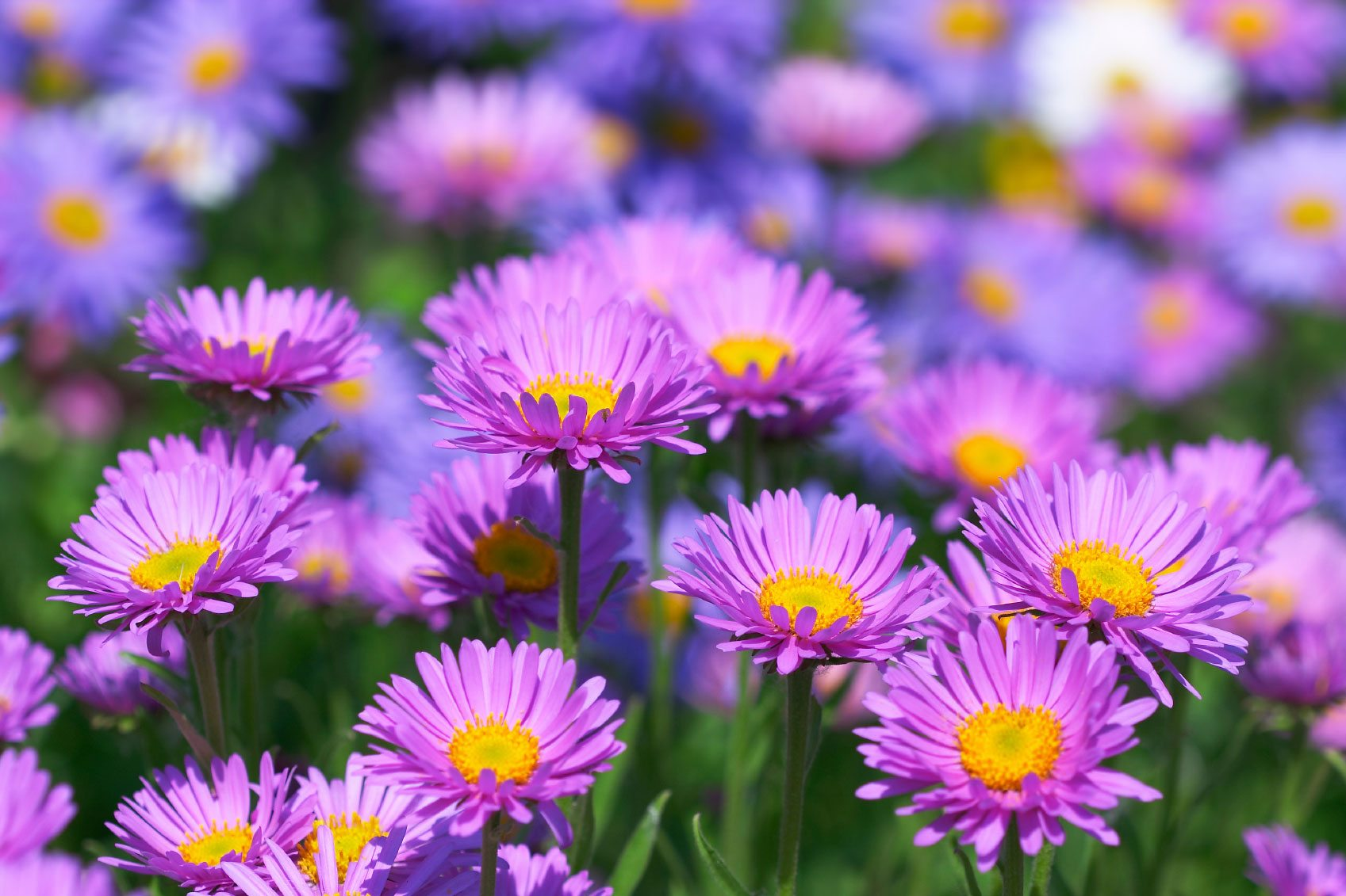 Aster Flowers: Tips On Caring For Asters