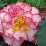 begonia-flower