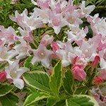 weigela-blooms