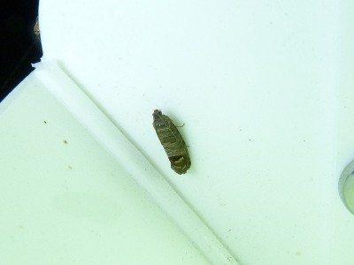 codling-moth