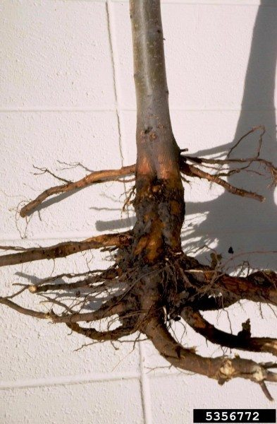 Crown Rot Identification And Tips For Treatment